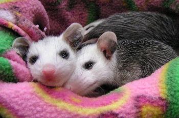 Opossum_BabiesInBlanket350MO.jpg