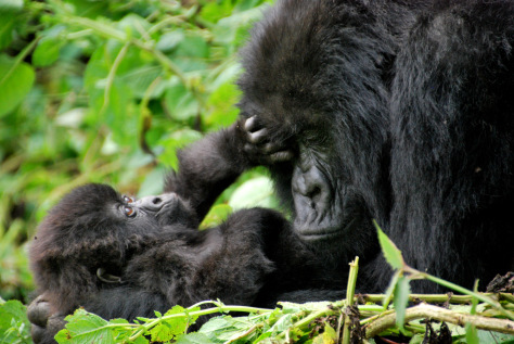 mother-and-baby-mountain-gorillas.jpg