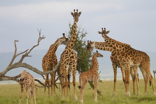 Giraffes-group-wallpaper.jpg