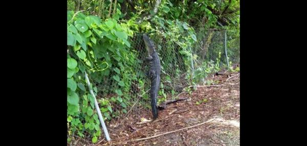 Fence-climbing-alligator-caught-on-camera-at-Florida-country-club.jpg.jpg