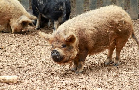 800px-Kunekune_Pig_at_Hamilton_Zoo.jpg