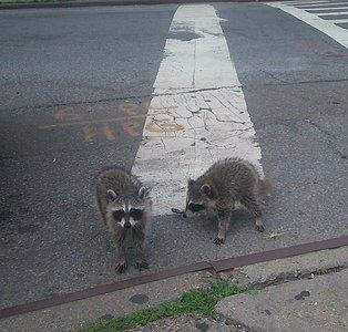 raccoons-DSC_0077.jpg