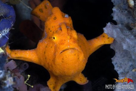 4551d1239160119-scuba-diving-frogfish-dauin-ducomi-apo-island-phil-dau-uw_n_041yv221107_1_.jpg