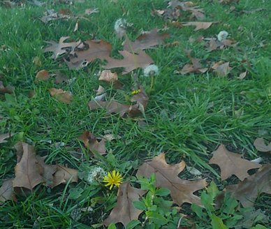 2015-11-29-a-dandelions.jpg