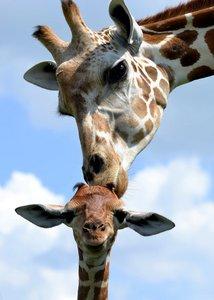 giraffes.jpg