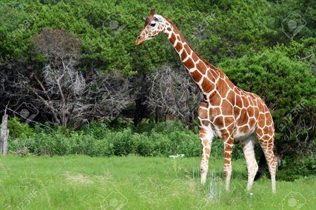 1859844-An-adult-giraffe-Great-color-and-detail--Stock-Photo.jpg
