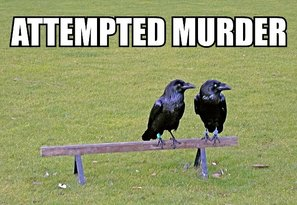 attempted-murder-crows.jpg