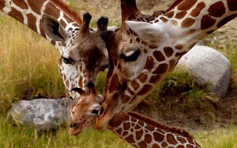 baby-giraffe-wallpaper-hd.jpg