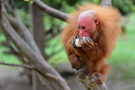 monkeyfacts-uakari.jpg.653x0_q80_crop-smart.jpg