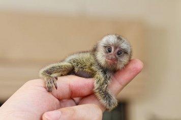 monkeyfacts-pygmymarmoset.jpg.653x0_q80_crop-smart.jpg