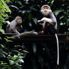 monkeyfacts-grayshankeddouc.jpg.653x0_q80_crop-smart.jpg