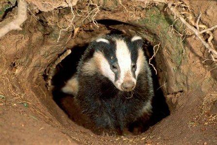 Badger_coming_out_of_sett.jpg