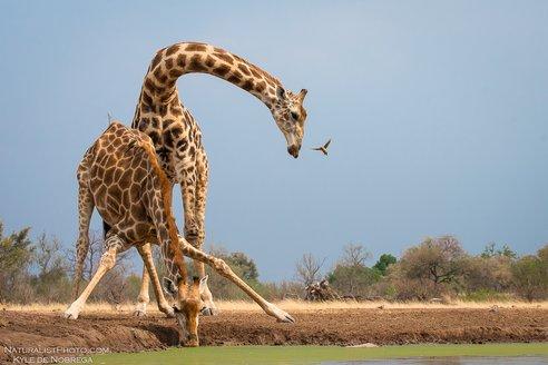 Drinking_20Giraffe.jpg.jpg