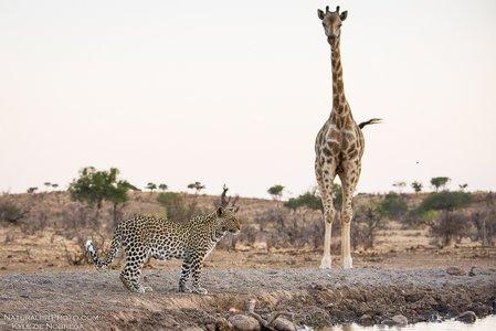 A_confused_Giraffe.jpg