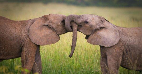 elephants-kissing-feat.jpg.jpg