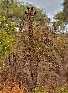 Giraffe_among_tress.jpg