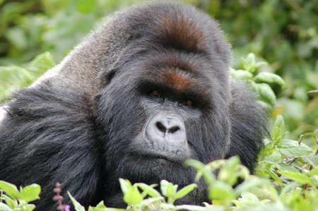 mountain-gorilla.jpg.jpg