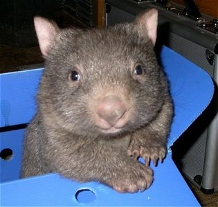 wombatinabox.jpg