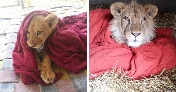 rescued-african-lion-sleeping-with-blanket-fb.png.png