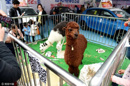 alpaca_auto_show4-thumb-640xauto-941574.jpg.jpg