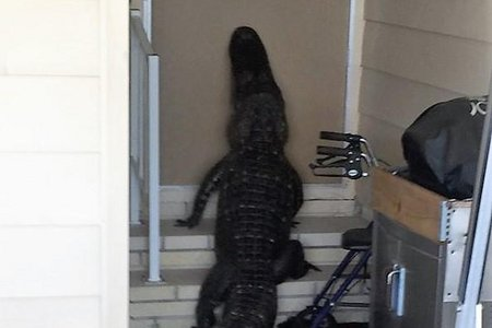 Large-alligator-found-trying-to-enter-front-door-of-mobile-home.jpg.jpg