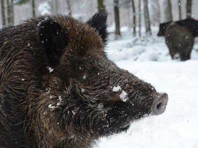 wild-boar.jpg.jpg
