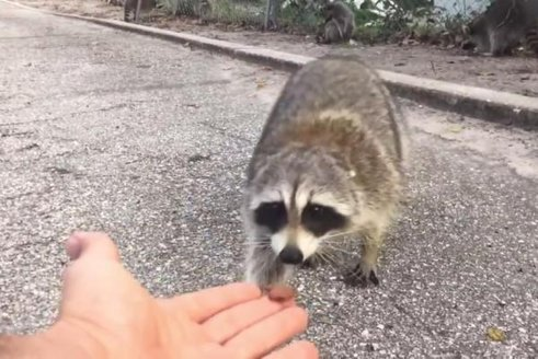 Florida-man-tries-to-feed-raccoon-learns-valuable-lesson.jpg.jpg