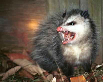 possum2.png.png