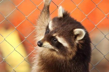 Raccoon-causes-power-outage-for-40000-Seattle-residents.jpg.jpg