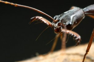ant-trapjaw.jpg.jpg