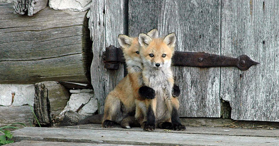 cute-baby-foxes-fb.png.png