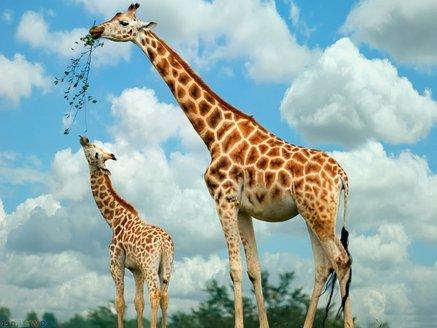 Baby-Giraffe-HD-Wallpaper-picture.jpeg