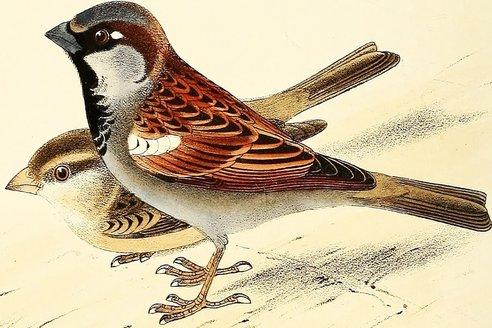 house_sparrow_1050x700.jpg.jpg